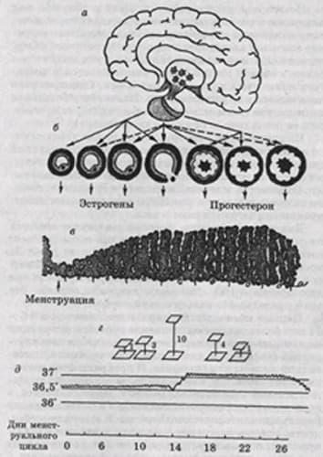 Рис. 1 Схема менструального цикла и его регуляции. а - головной мозг и гипофиз; б - яичник (рост и созревание...